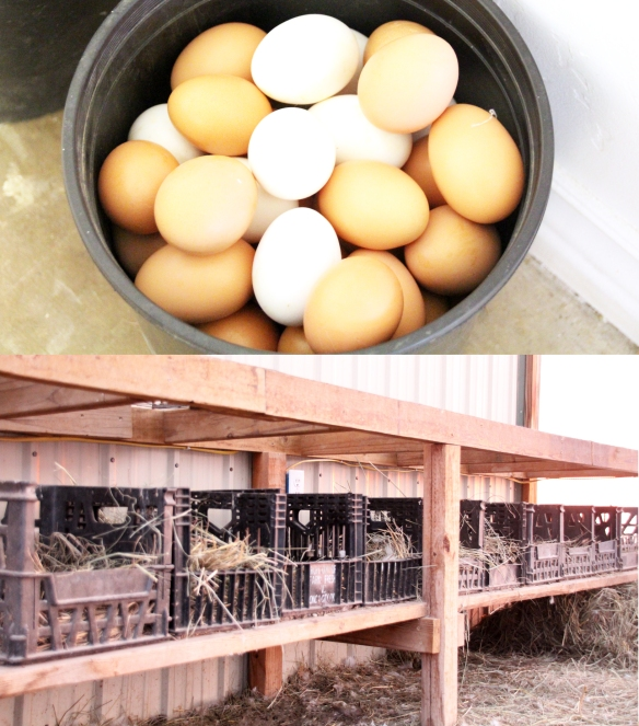 Homemade chicken nesting boxes out of milk crates...